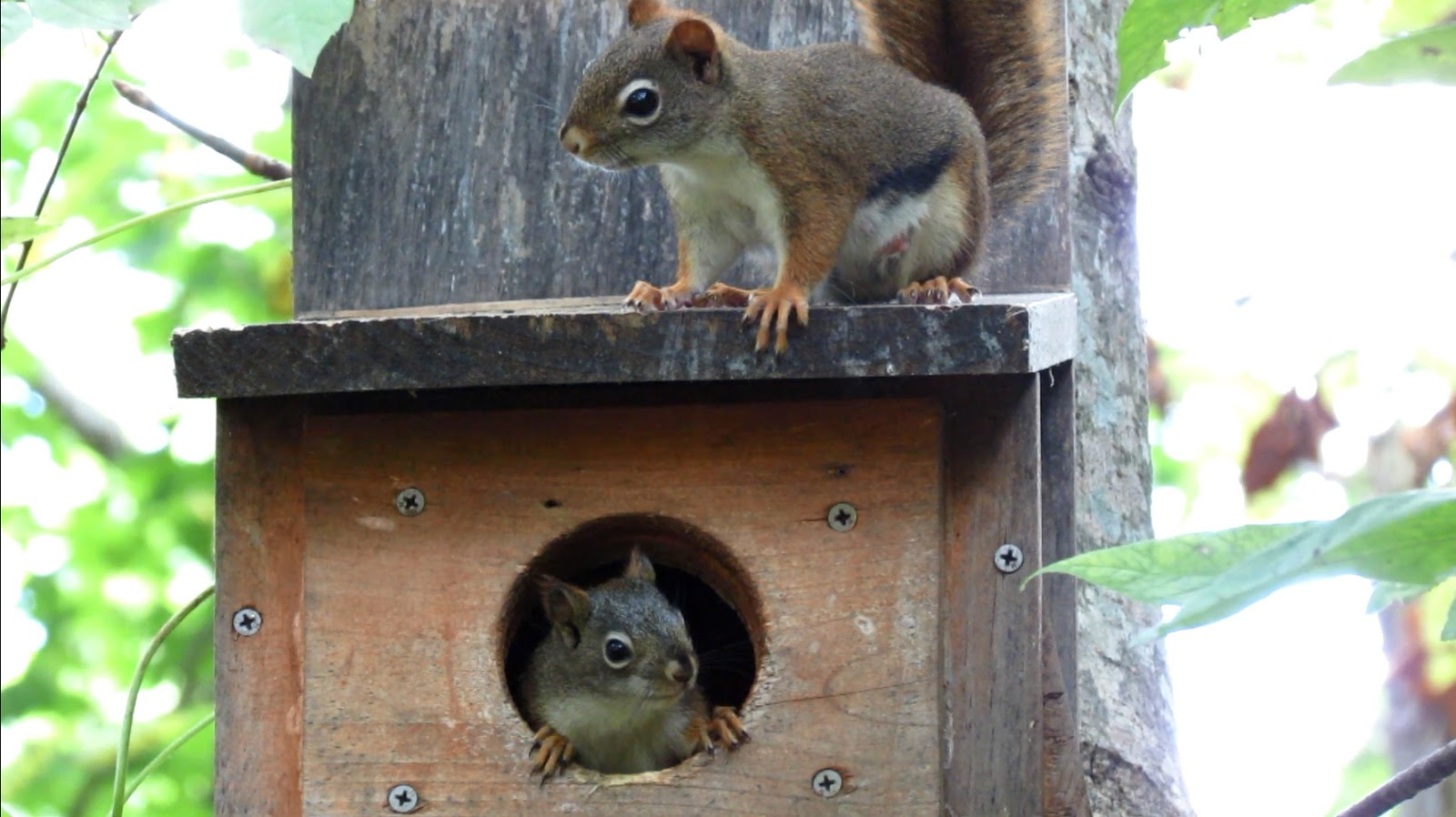 Backyard Birding    and Nature: Red Squirrel Alarm and