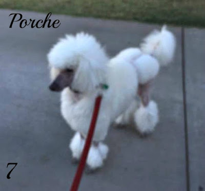 white poodle in semi show clip