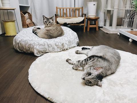 床に転がってるサバトラ猫と、マシュマロベッドで丸くなってるシャムトラ猫