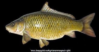2 Racikan Umpan Jitu Mancing Ikan Jaruh Ikan Mas