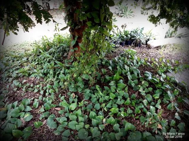 Crescimento JIBÓIA-VERDE ( Epipremnum pinnatum )