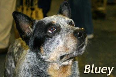 Bluey, el perro mas viejo del mundo