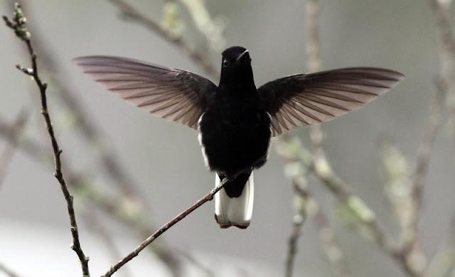 Ao contrário dos outros beija-flores, sempre com seu colorido brilhantes, o que se destaca no beija-flor preto é o contraste que ele exibe entre suas duas únicas cores.