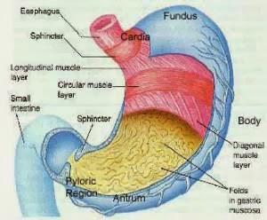 fungsi dari organ lambung