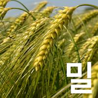국제 밀 (소맥) 가격 전망 : 기준 가격은 520 센트 - 해외선물 Wheat, CME CBOT: ZW