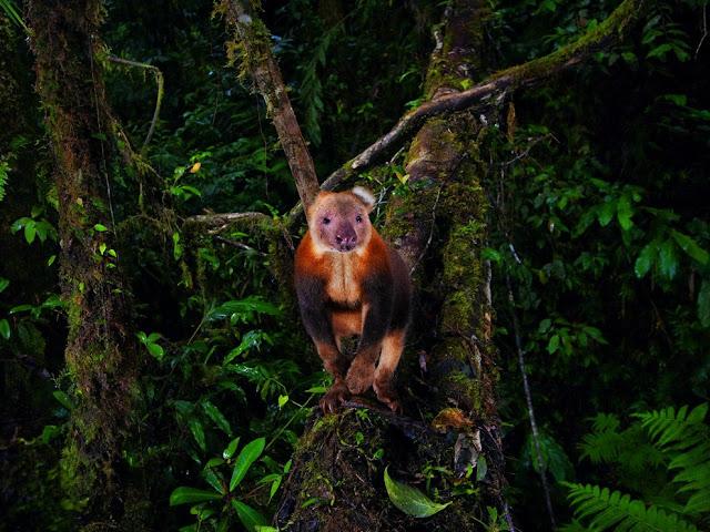 صورة للكنغر المهدد بالإنقراض