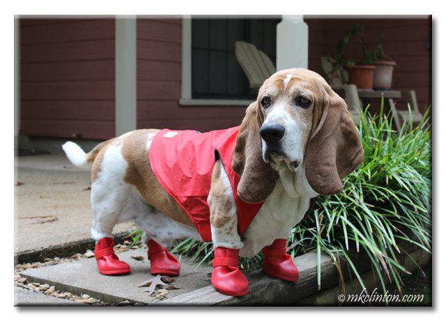 Bentley Basset Hound wearing his red Jelly Wellies.