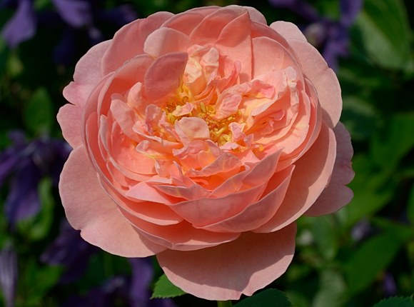 Boscobel сорт розы фото Минск купить саженцы