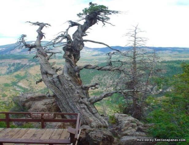 Pokok Jardine Juniper