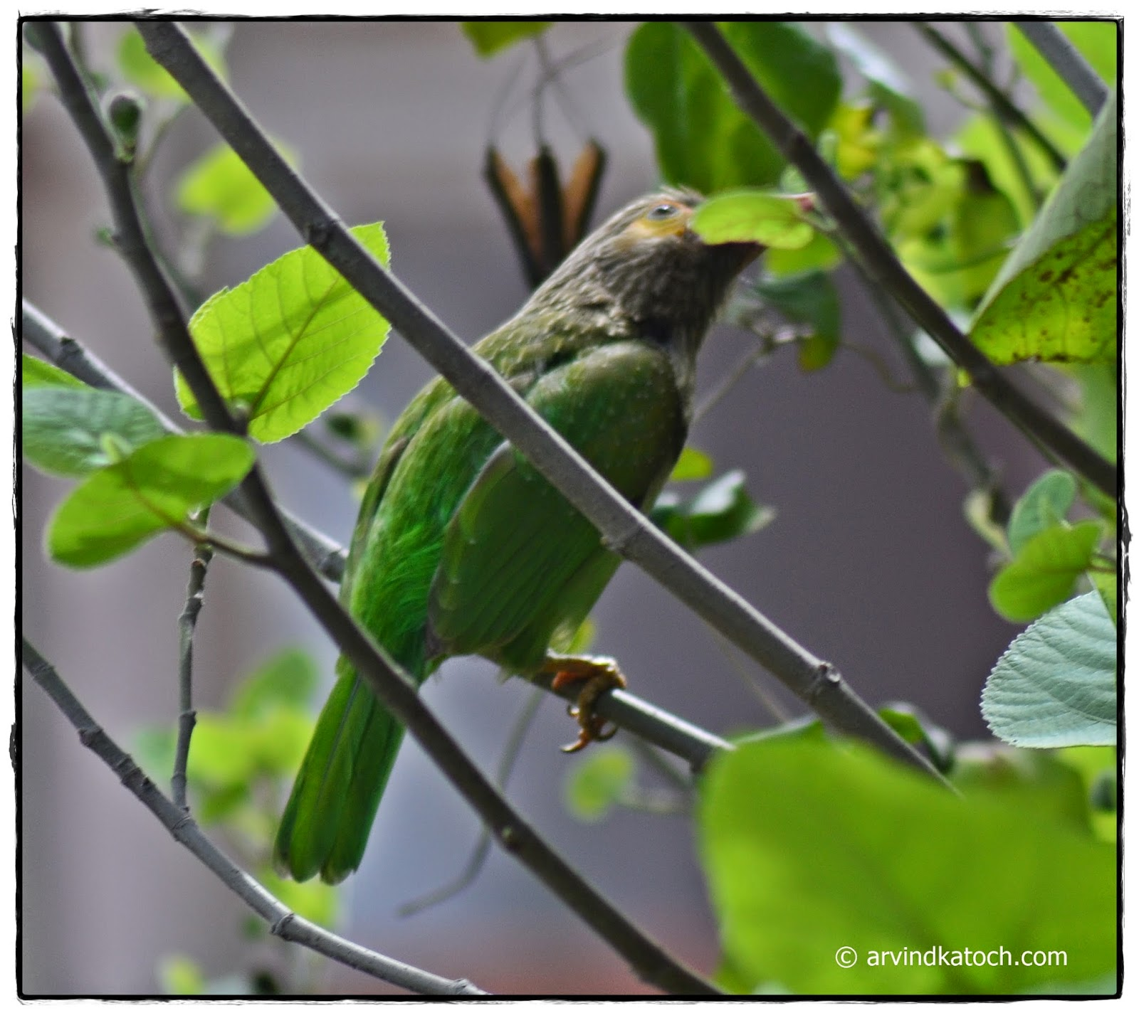 Green Bird, Bird, Plump, Brown-Headed Barbet,