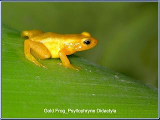 Gold Frog (Katak Emas)