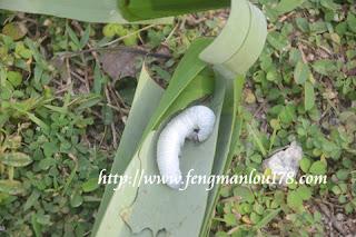 香蕉弄蝶白幼虫