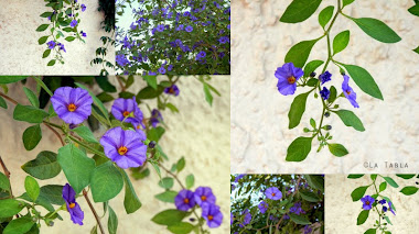 Solanum rantonnetii. Luz en la sequía