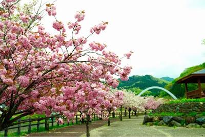 片品川のほとりの名も無き公園。満開の桜並木