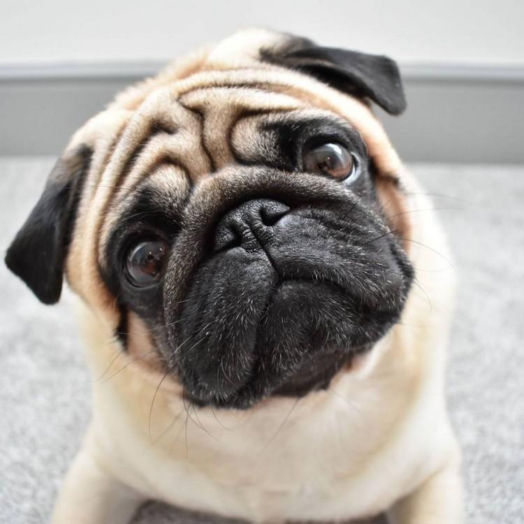 Carlin - Pug