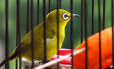 Harga Burung Pleci Area Magetan (jual/Beli)