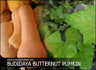 Budidaya Labu madu atau Butternut pumkin (Cucurbita moschata)