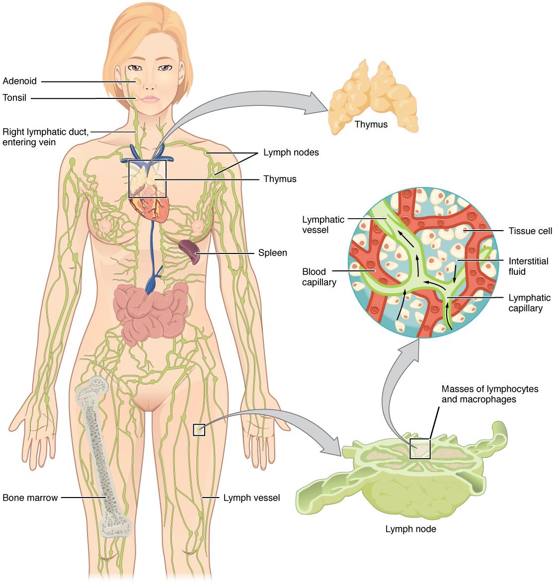 Das Lymphatische System