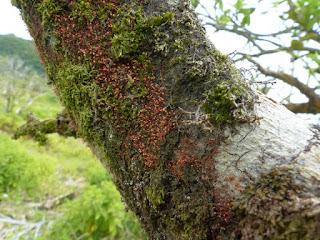 Nectria pseudotrichia - Tubercularia lateritia