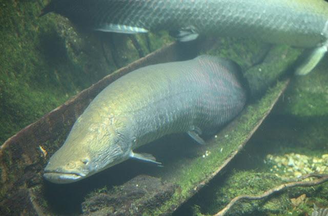 Ikan yang dilepaskan disungai berantas
