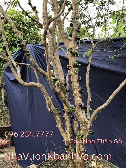 Đăng tin rao vặt: Điều gì khiến cây nho thân gỗ trở nên nóng trên thị trường cây xanh? Cay-nho-than-go-khanh-vo-3