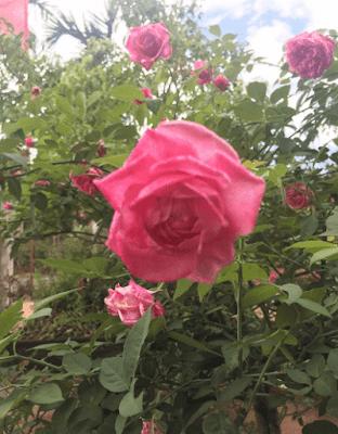 Hoa hồng 14