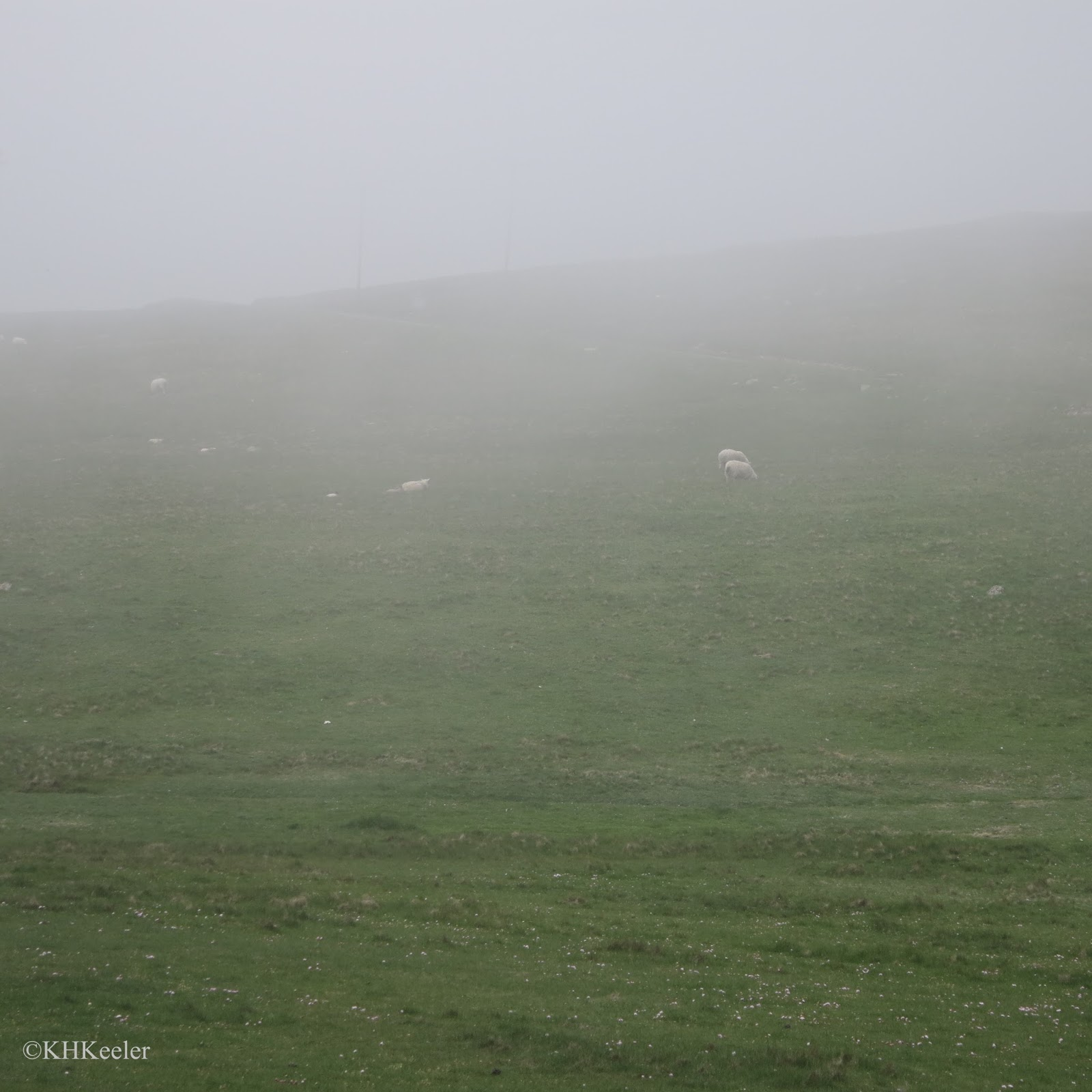 sheep in the mist, Shetland