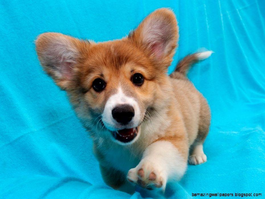 Cute Corgi Puppy Wallpaper | Amazing Wallpapers