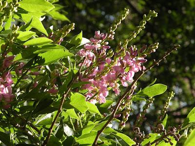 Bugre Lonchocarpus nitidus