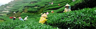 tea production in assam