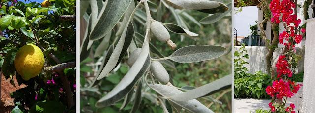 Zitronen, Oliven, Bougenvilla Pflanzen vom Mittelmeer