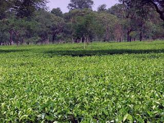 Kalchini and Raimatang Tea Estates