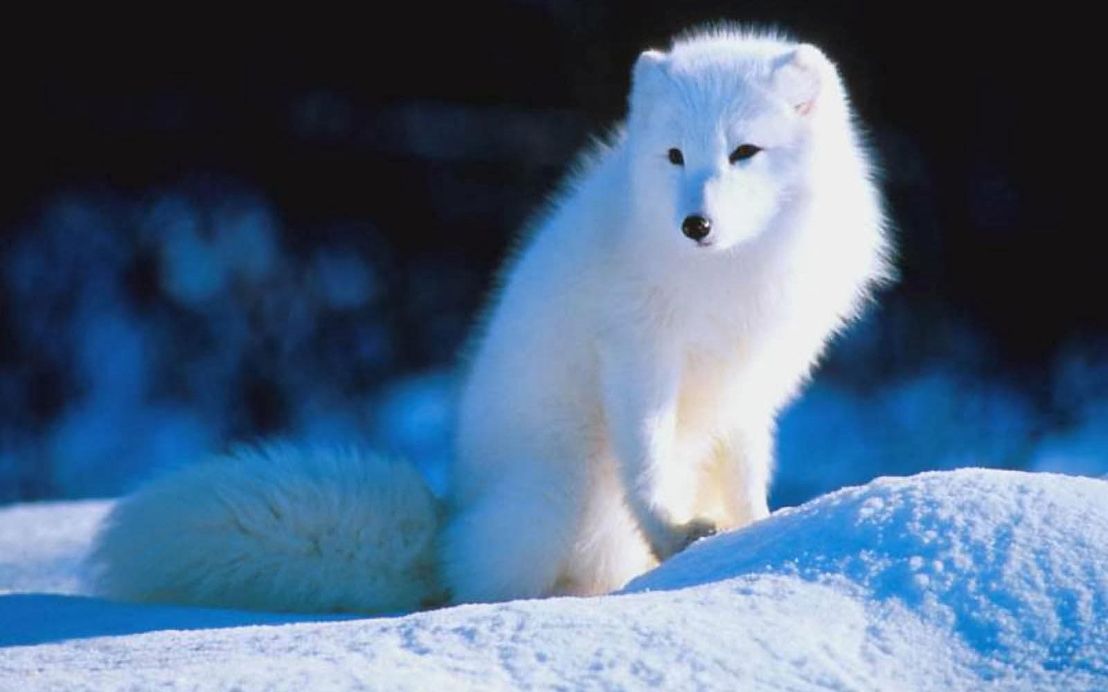 Wallpapers: Polar Fox Wallpapers