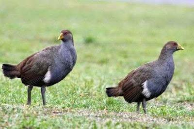 burung tasmanian nativehen