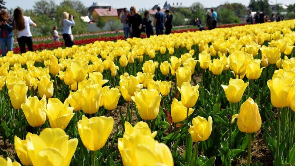 Долина тюльпанів щороку розквітає неподалік Чернівців
