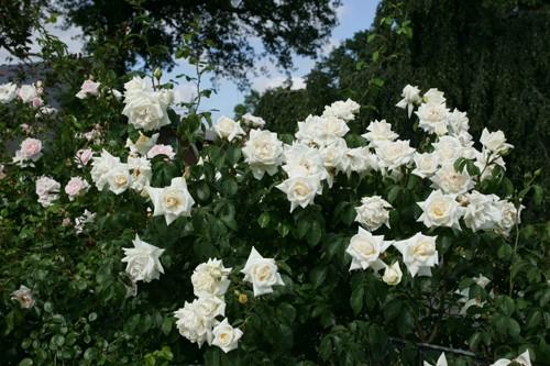 Ilse Krohn Superior rose сорт розы фото