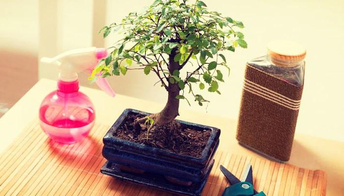 Como cuidar las plantas bonsai