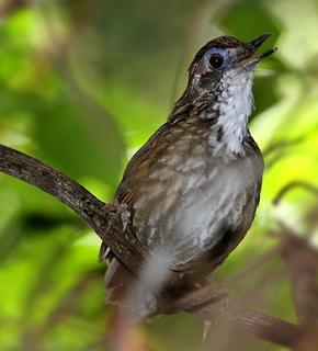 suara burung rawa-rawa