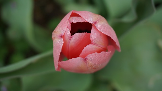 hoa tulip hồng, tím đẹp nhất 6