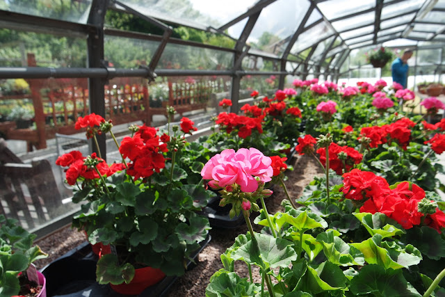 rows of pink and red flowers in garden centre