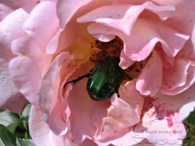 роза Marie Curie, розарий, сочетания роз, розы фото, розы в саду, цветники с розами
