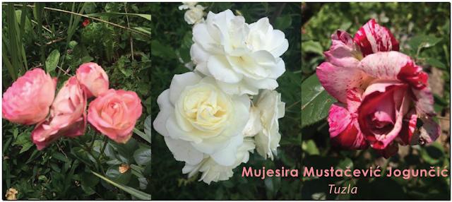 Predivne ruže Tuzle