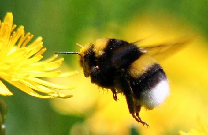 ¿Qué peligro corremos si desaparece el abejorro?