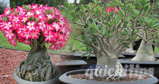 Grow Adenium with Full of Flowers in Your Garden