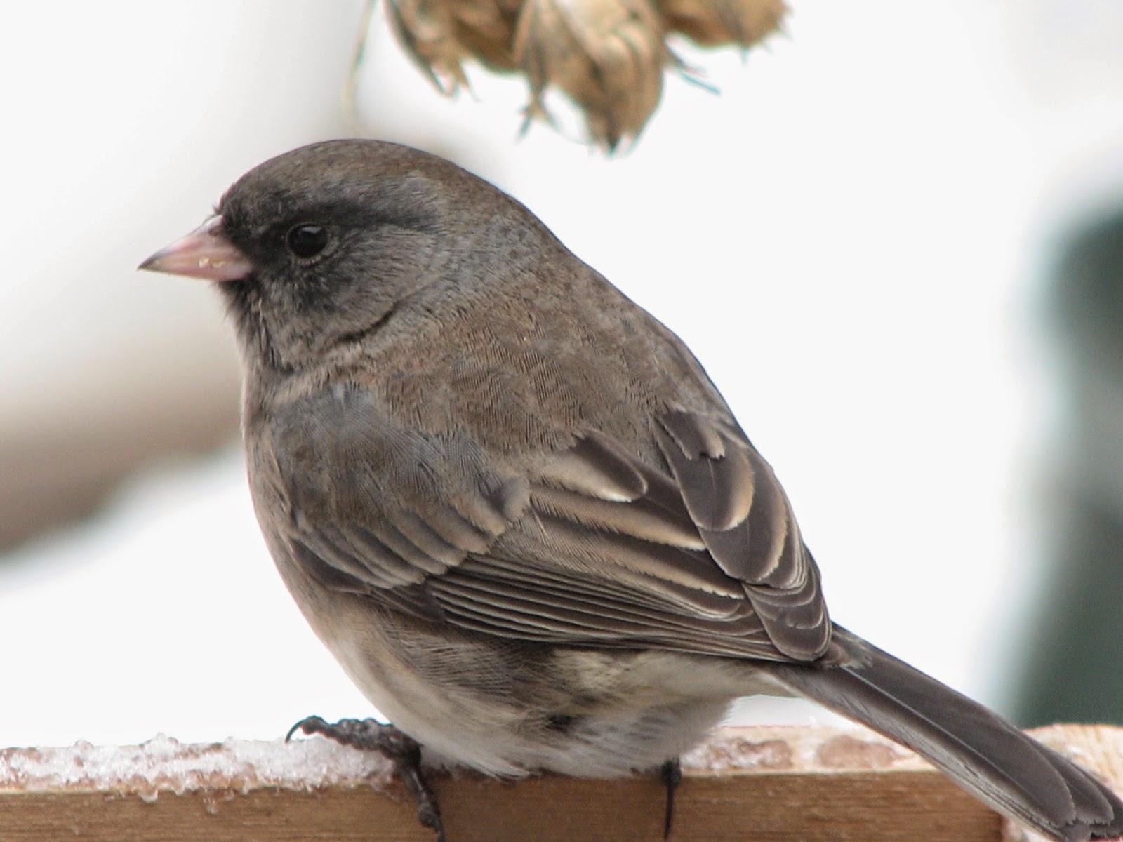 South Burlington Birds: Dark-eyed Junco Photos