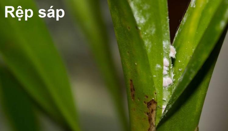 Nhện đỏ, bọ trĩ, kiến, rệp,... có hại cho lan ~ Cảnh quan lâm nghiệp