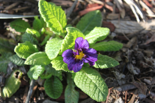 Primula 'Supernova Blue'