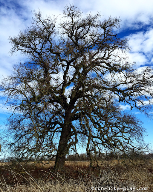 Cosumnes River Preserve Valley Oak Tree