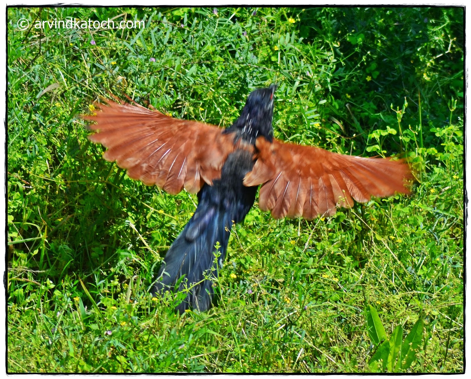 Greater Coucal, Wings, Spreaded