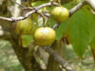 Vavangue - Vangueria madagascariensis